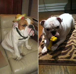 Maks & Val's Sir Sleepalot vs. Ice-T and Coco's Spartacus: Who's the Cuter Bulldog?