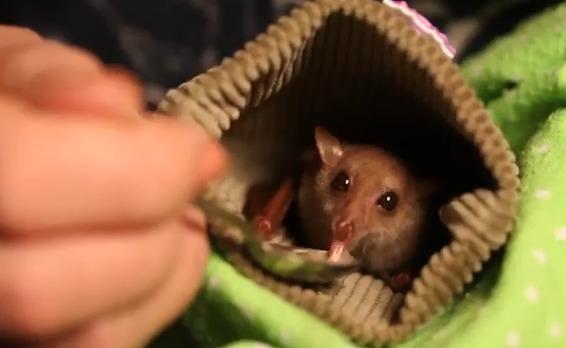 Adorable Rare Australian Baby Flying Fox Bat Rescued (VIDEO)
