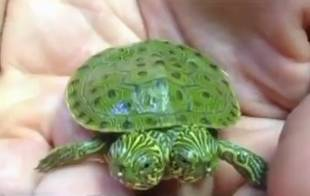 Two-Headed Turtle Named Thelma and Louise Born at San Antonio Zoo (VIDEO)